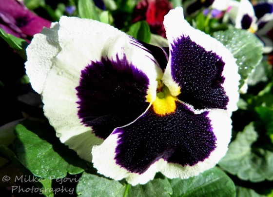 White and purple pansy