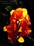 Orange gladiolus bloom