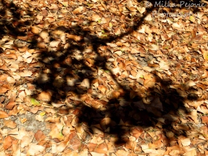 A word a week photo challenge: shadow of a tree on brown leaves