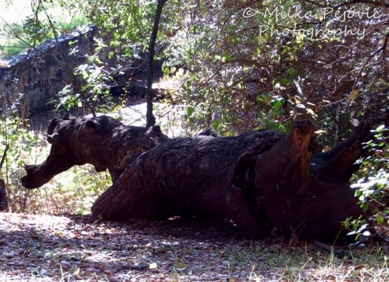 Dragon shape in a tree trunk