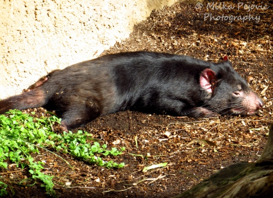 Macro Monday: Tasmanian devil at the San Diego zoo
