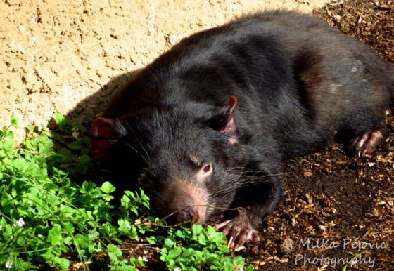Tasmanian devil laying down