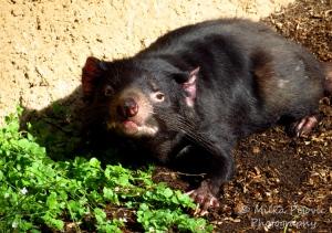 Wordpress weekly photo challenge: One Tasmania devil