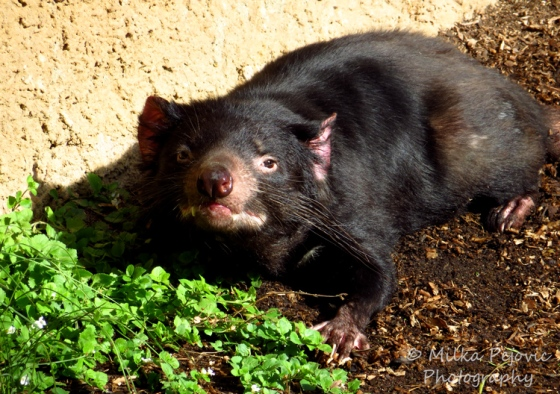 Close-up of a Tasmania devil