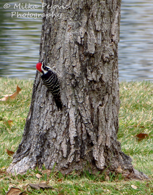 Macro Monday: my first Nuttall's woodpecker