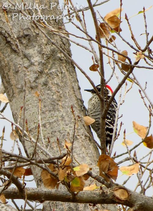 Nuttall's woodpecker in a tree