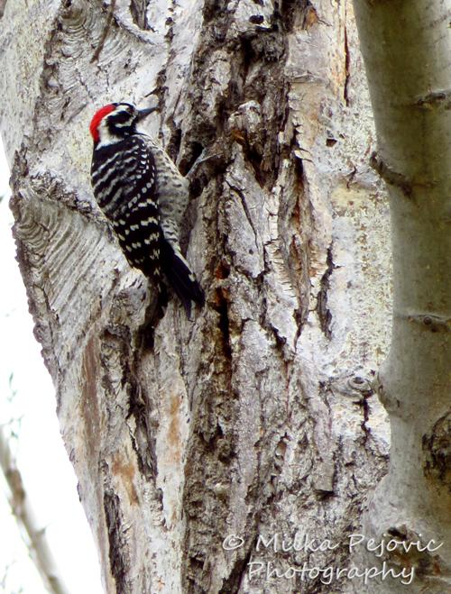 Nuttall's woodpecker on a tree trunk