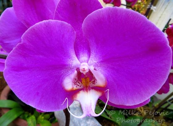 Macro Monday: purple orchid