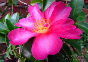 Macro Monday: pink azalea flower