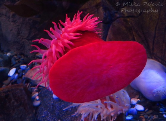 Red anemone on aquarium window