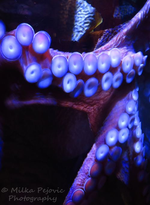 Suction cups of giant Pacific octopus