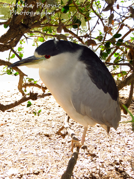 Macro Monday: Black-crowned night heron