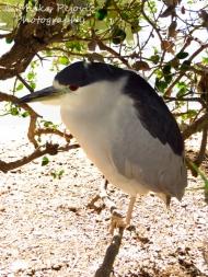 Macro Monday: Black-crowned nightheron