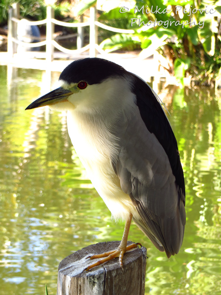 Close-up of a black-crowned night heron