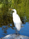 White egret with water ripples and reflections in the water