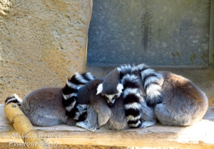 Ring tailed lemurs sleeping in a pile