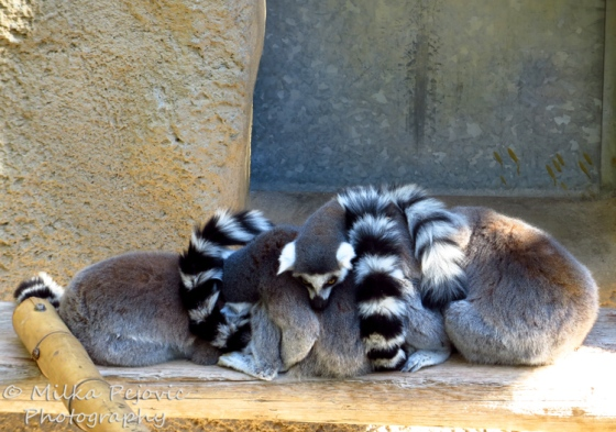 Wordpress weekly photo challenge - family of lemurs sleeping together