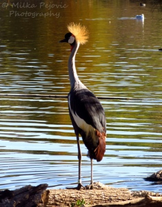 West African crane