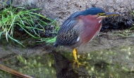The real green heron