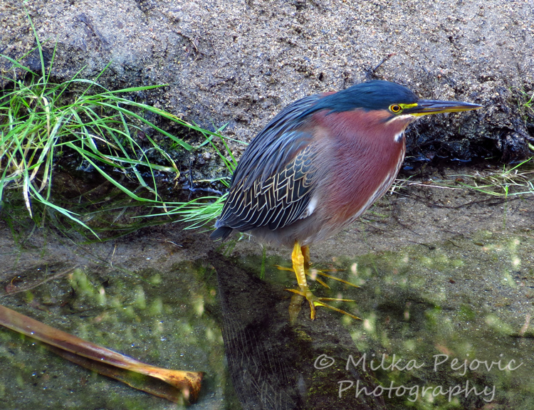 Green heron in San Diego