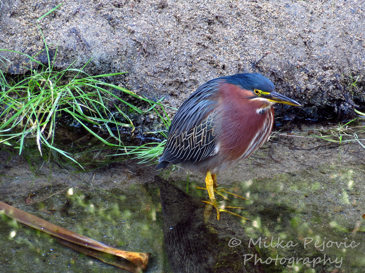 Close-up of a green heron in San Diego