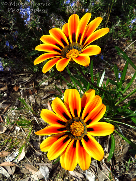 Macro Monday: yellow orange Gazania flowers