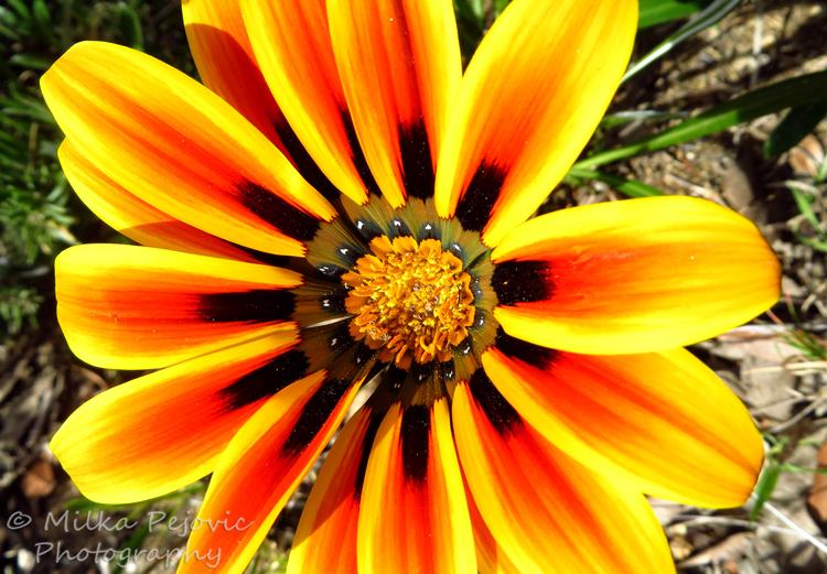 Close-up of a yellow orange Ganzania bloom