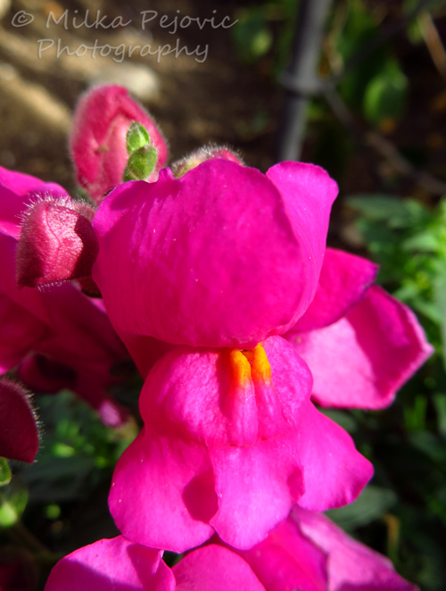 Macro Monday: pink snapdragon flower