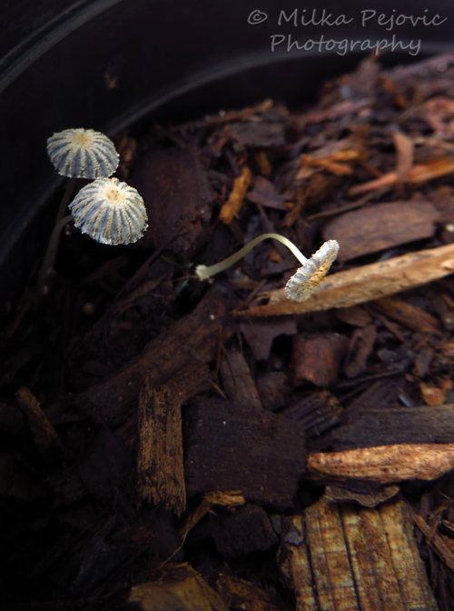 White mushrooms growing in potting soil