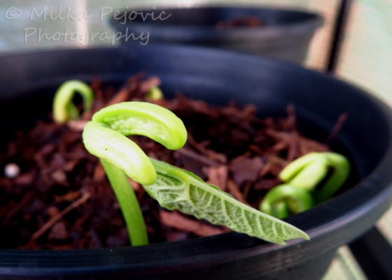Green bean seedling coming out of soil