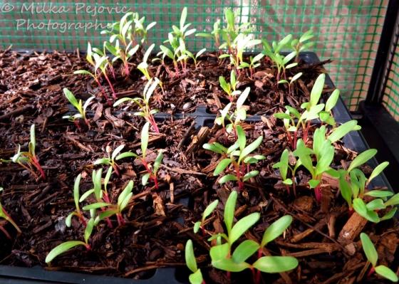 Seedlings of Swiss chard