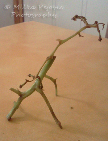 Food art with grape vines: giraffe
