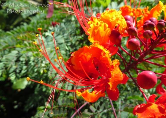 Caesalpinia pulcherrima blooms - Mexican bird of paradise