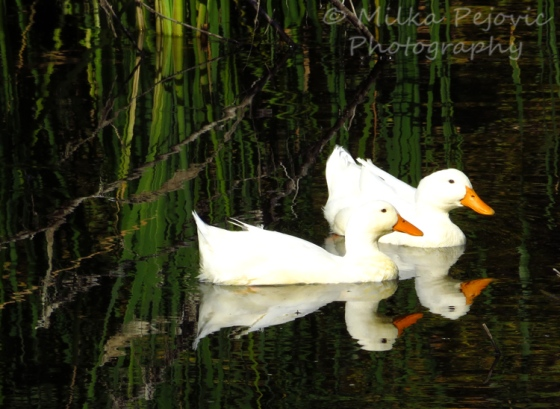 White ducks swimming in water and their reflections