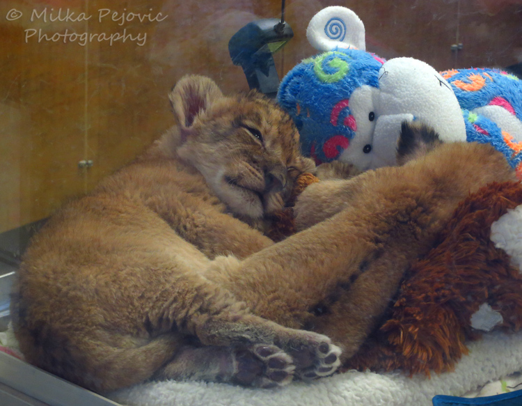 Wordpress weekly photo challenge: Threes - Two baby lions and one stuffed monkey
