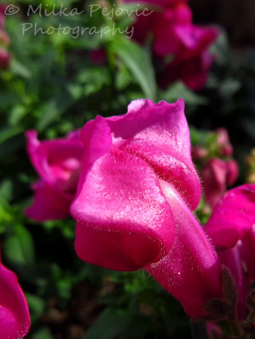 Close-up of a pink snapdragon flower