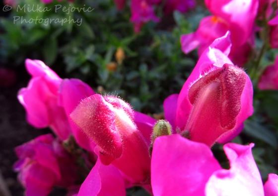 Pink snapdragon flower fuzzy buds