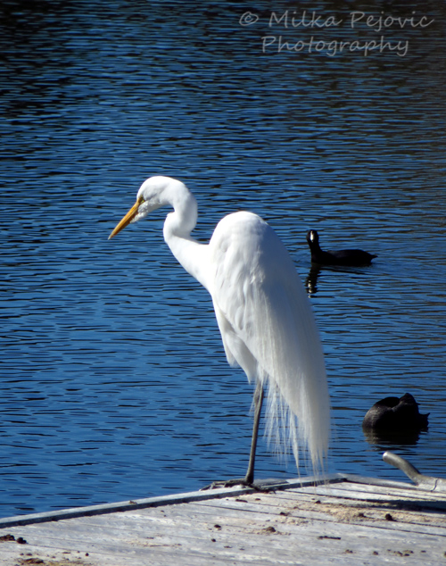 Cee's Fun Foto Challenge: the color white - great egret