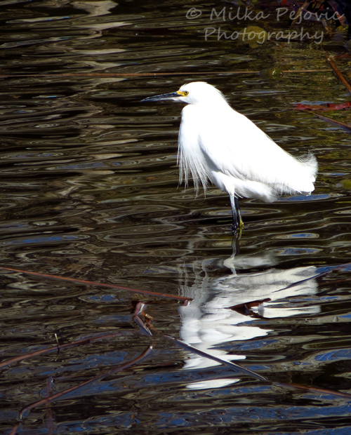 Small white egret looking for fish in the water