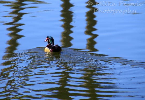 Wood duck swimming on pond with the reflections of three palm trees