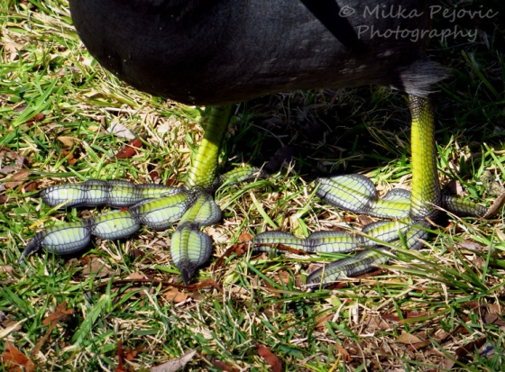 Paddle feet / lobbed toes of an American coot