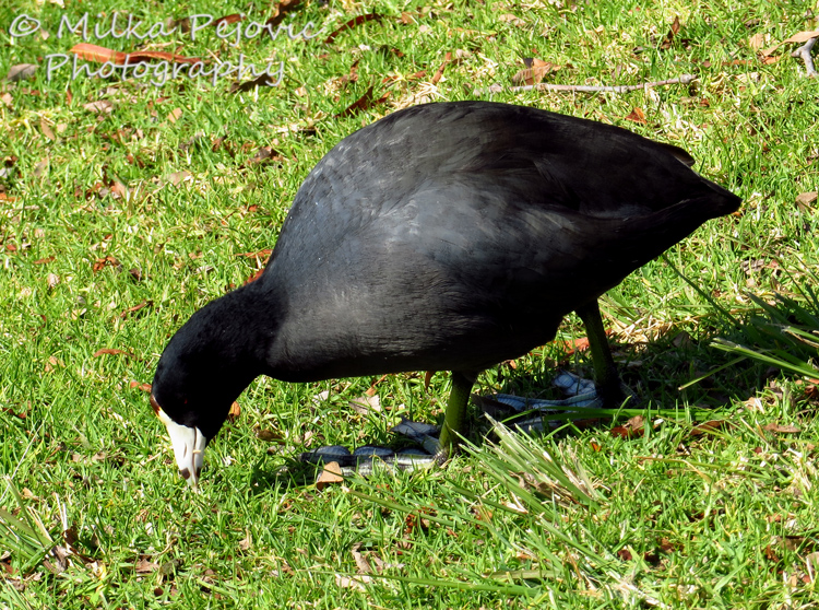 Macro Monday: the American coot