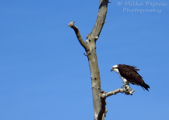 Osprey - fish hawk - sea hawk