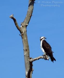 Osprey sitting in a tree