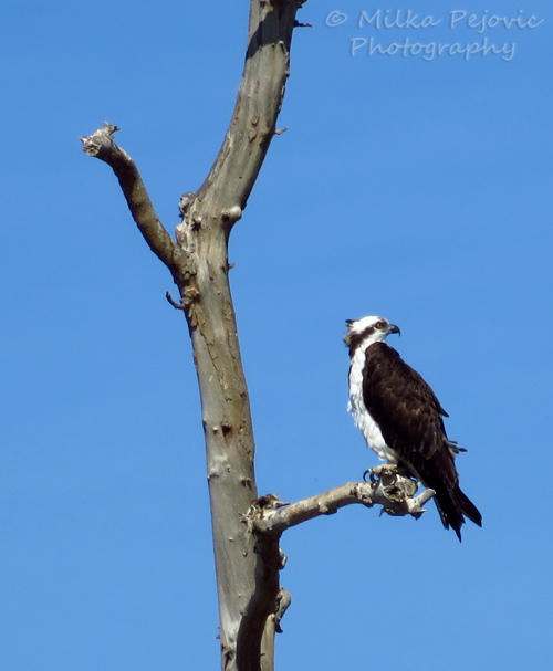 Osprey sitting in a tree