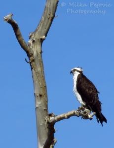 Close-up on an osprey hawk