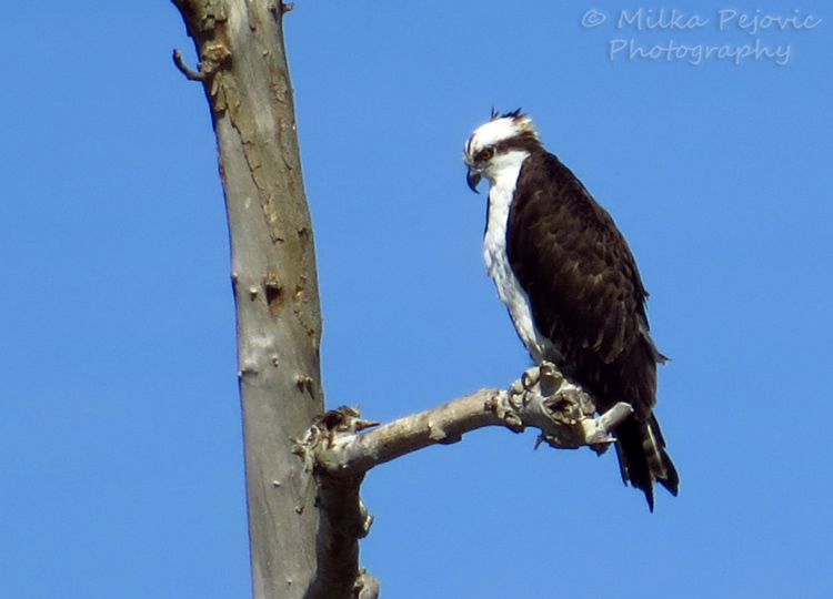 Close-up on an osprey hawk