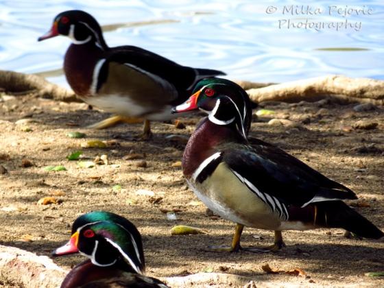 Three wood ducks