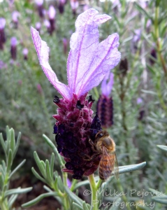 Bee on a purple lavender flower