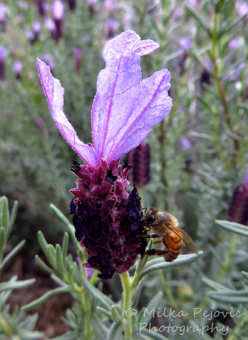 Macro Monday: bees on lavender flowers